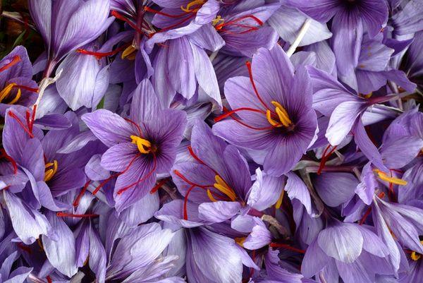 انعقاد تفاهمنامه با فائو برای تکمیل زنجیره تولید زعفران