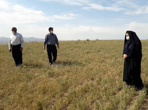خسارت 4700 میلیارد ریالی گندم کاران شهرستان میانه از خشکسالی