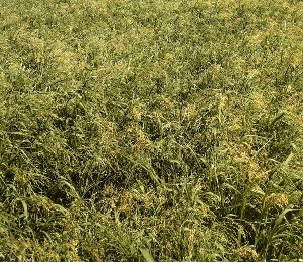 تولید 55 تن  ارزن در شهرستان خرامه