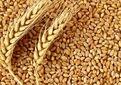 توزیع 26 هزار تن بذر گندم در شهرستان کازرون