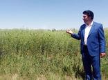 برای اولین بار 72 هکتار از اراضی آبی شهرستان ورزقان به کاشت کلزا اختصاص یافت