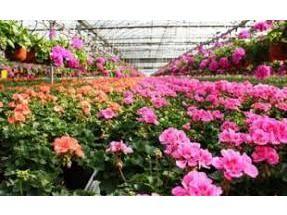 صادرات 51 هزار گلدان گل از نوشهر به خارج از کشور