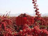 برداشت بالغ بر 20 هزار تن زرشک در خراسان جنوبی