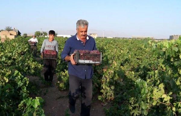 مبارکه نخستین تولید کننده انگور در استان اصفهان