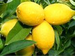 رکورد تولید لیمو ترش در قیروکارزین شکسته شد