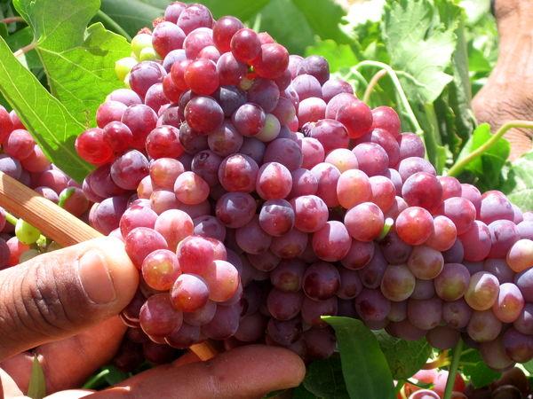 آغاز برداشت زودرسترین انگور کشور از تاکستانهای سیستان و بلوچستان