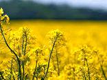 افزایش 500 هکتاری سطح زیر کشت دانه های روغنی در سال جاری در شهرستان ارزوئیه