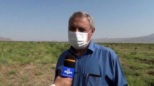هجوم ملخ ها به ۸۰ هکتار از باغهای شهرستان مرند