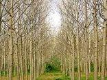 استقبال فعالان صنایع چوب کشور برای سرمایه گذاری در حوزه زراعت چوب