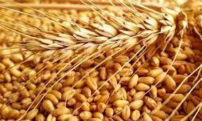 خرید تضمینی گندم و کلزا از اساسیترین برنامههای جهاد کشاورزی قزوین است