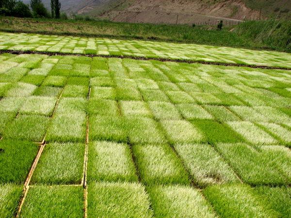 خزانهگیری برنج در شالیزارهای قزوین آغاز شد 