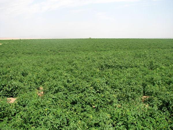 کلزا کاران قزوین نسبت به مصرف کودهای  سرک و آبیاری مزارع اقدام کنند