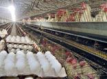 تولید ۵۴۰۰هزار تن تخم مرغ در شهرستان کاشان