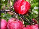 ترویج احیاء و توسعه باغات سیب گوشت قرمز در استان اردبیل