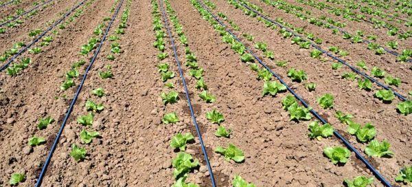 تولید بیش از 500 هزار تن  انواع محصولات سبزی و صیفی بهاره در آذربایجان غربی