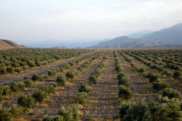توسعه باغات در سطح 930 هکتار از اراضی کشاورزی استان  قزوین