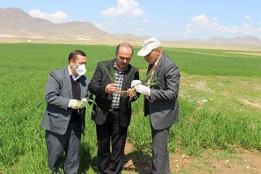 بیش از ۴۴۷۷ هکتار از مزارع غلات شهرستان مرند  علیه علفهای هرز سمپاشی شد