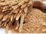 کشاورزان خراسان شمالی از گندم بهعنوان جایگزین جو در خوراک دام استفاده میکنند