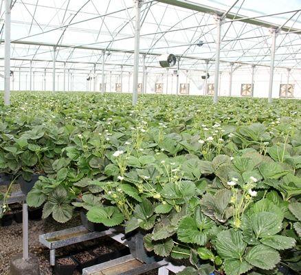 تشدید کنترلهای بیولوژیکی در گلخانهها
