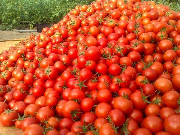 اعتراض کشاورزان اصفهان به قیمت گوجهفرنگی