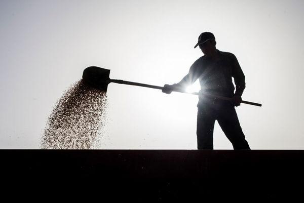 تعیین قیمت خرید تضمینی گندم با قیمت گندم وارداتی