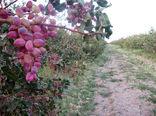 افزایش 50 درصدی برداشت محصول پسته از باغات این شهرستان