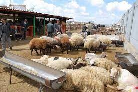 به علت خشکسالی، فروش دام سبک در خراسان شمالی افزایش یافت