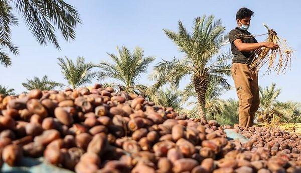 خرید تضمینی 8 هزار تن خرمای استعمران در خوزستان