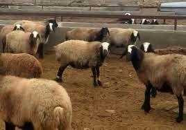 اصلاحنژاد، ۵۰ درصد وزن دامهای خراسان شمالی را افزایش داد
