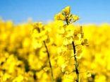 پیش بینی رشد 20درصدی تولید کلزای پاییزه در شهرستان پاکدشت