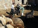 پوشش100 درصدی واکسیناسیون بر علیه بیماری بروسلوز در آذربایجان غربی