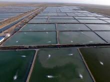 پرورش میگو در پنج هزار و ۶۱۲ هکتار استخر بوشهر آغاز شد