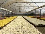خمینی شهر دومین تولید کننده گلهای فصلی زینتی کشور