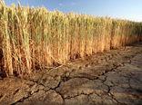 تاول خشکسالی بر دیمزارهای کردستان