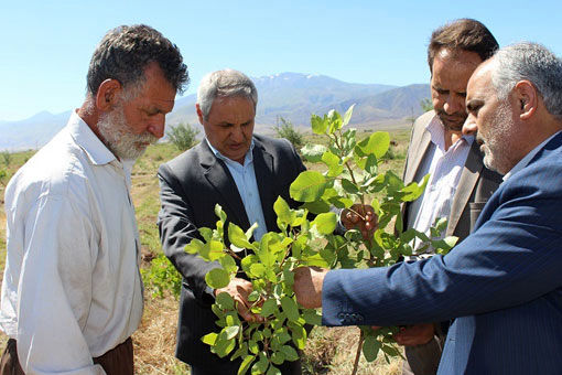 توسعه باغات پسته از اولویت های مدیریت جهاد کشاورزی شهرستان ویژه مرند است