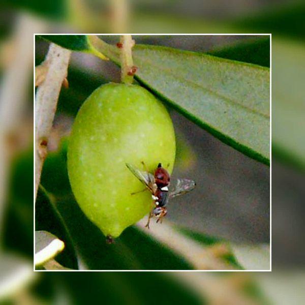 خسارت آفت مگس میوه زیتون در قزوین به زیر یک درصد رسید