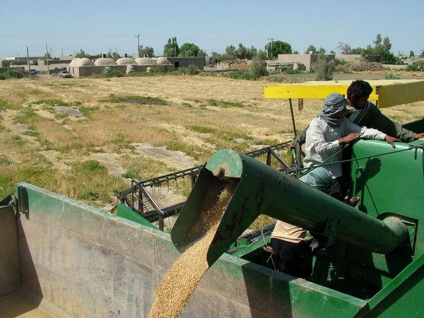کشاورزان 28 هزارتن گندم مازاد بر نیاز خود را تحویل دولت دادند