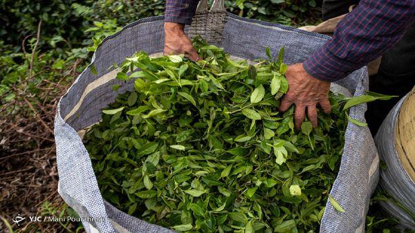 رشد ۴ درصدی خرید تضمینی برگ سبز چای؛ ۳ هزار و ۳۰۰ تن چای صادر شد