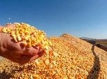 برداشت ذرت دانهای از مزارع داراب آغاز شد