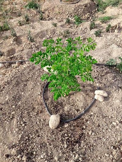 کاشت درخت مورینگا برای اولین بار در فسا