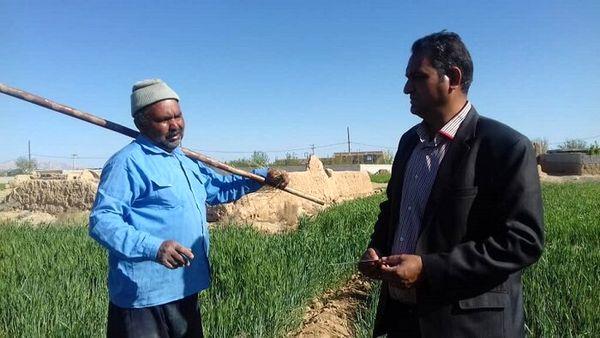 کشاورز ابرکوهی ۲.۵ برابر استاندارد در هر هکتار گندم برداشت کرد