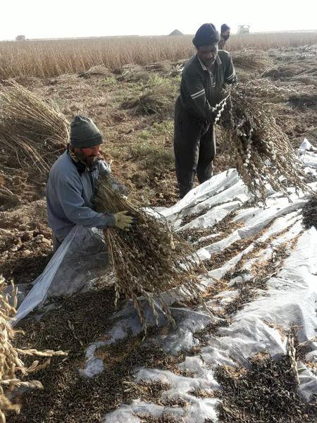 کشت الگویی کنجد در سطح 7 هزار متر مربع از اراضی کشاورزی استان قزوین