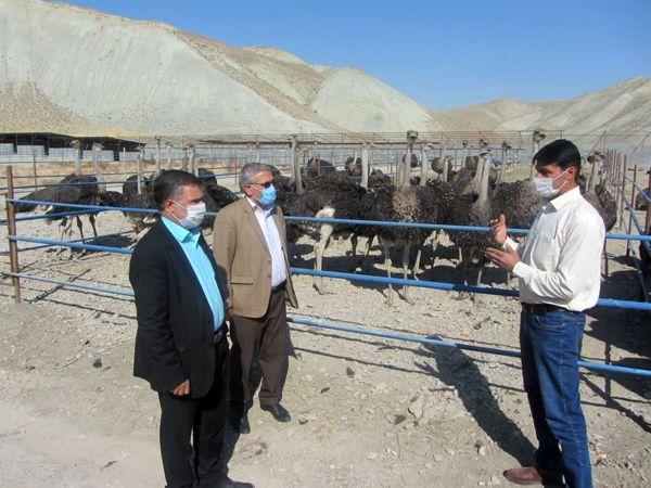 بازدید رئیس سازمان جهادکشاورزی خراسان شمالی از مزرعه پرورش شتر مرغ گیفان