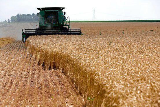 گندمکار خراسان شمالی  به طور میانگین از هر هکتار ۱۲ هزار و ۸۰۵ کیلوگرم گندم برداشت کرد