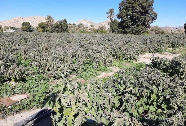 خسارت بیش از ۶۸۰  میلیارد ریالی سرمازدگی به محصولات کشاورزی