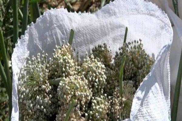 آغاز برداشت پیاز بذری در فریدن اصفهان