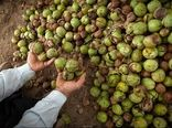 بیش از ۲ هزار تُن گردو از باغات استان ایلام برداشت میشود