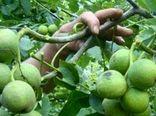 بسیج دستگاههای دهاقان برای مقابله با آفت درخت گردو