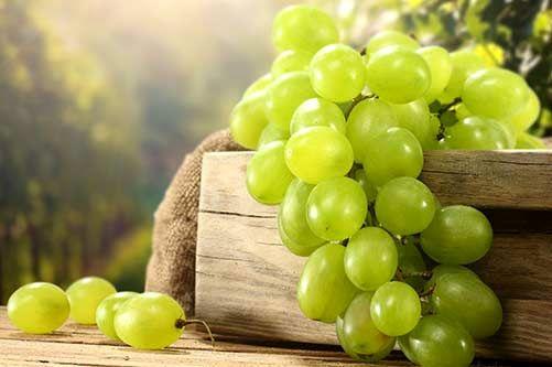 برداشت ۱۵هزار تن انگور عسکری از تاکستانهای جهرم