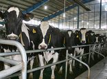 بیش از 100 مرکز گاوداری شیری  در استان  اردبیل فعالیت دارند